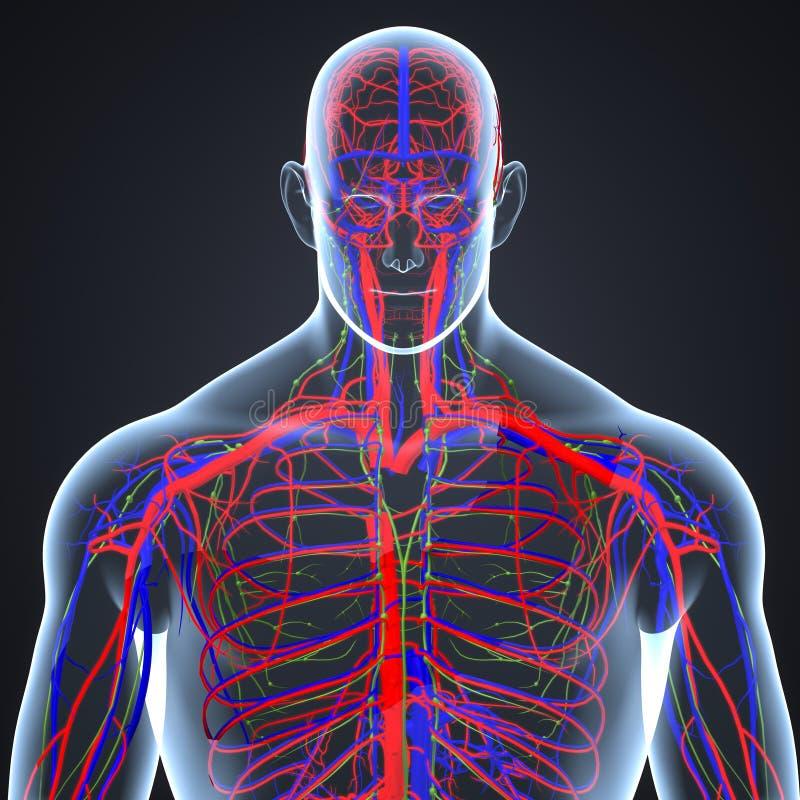 在人体后部视图的动脉、静脉和淋巴结 库存例证