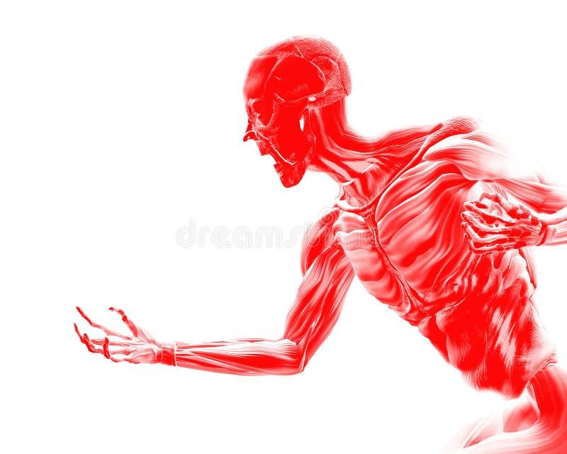 在人体16的肌肉 库存图片