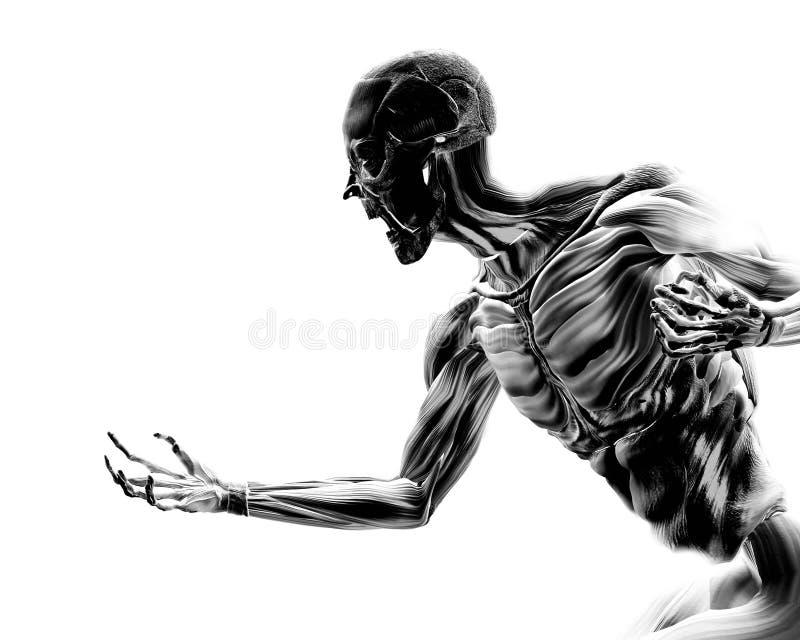 在人体17的肌肉 皇族释放例证