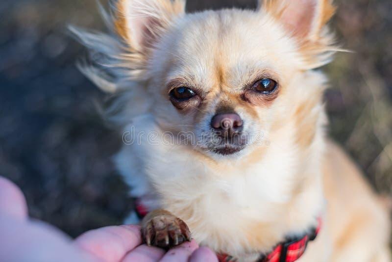 在人和小狗之间的友谊,震动手和爪子 免版税库存照片