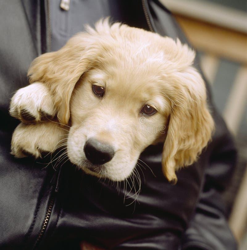 在人的外套夹克的逗人喜爱的金黄实验室拉布拉多猎犬小狗 人们宠爱与动物的所有者 免版税库存照片