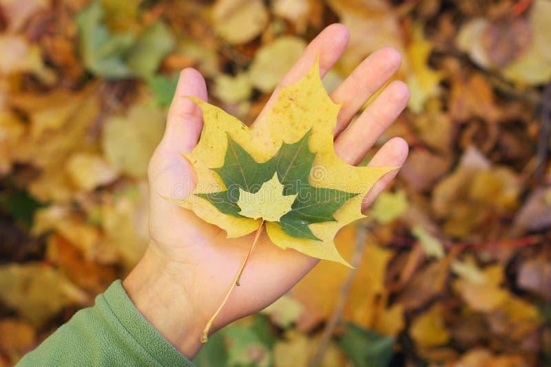 在人的棕榈的三色的秋天枫叶,黄色和绿色,特写镜头 图库摄影