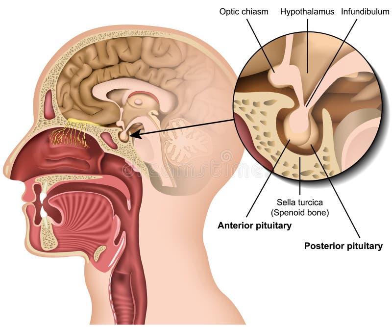 在人脑的白色背景下丘脑隔绝的脑下垂体解剖学3d医疗传染媒介例证 皇族释放例证