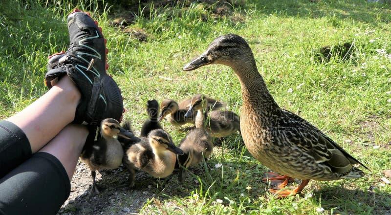 在人附近的鸭子 免版税库存图片