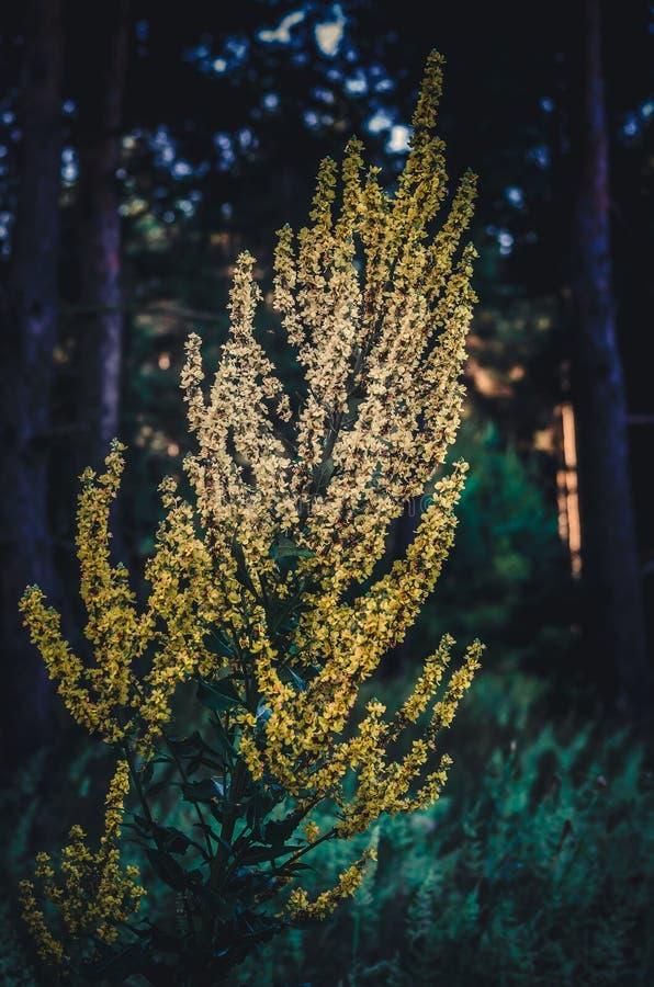 在从新射击黑暗的早晨的森林背景的大黄色灌木仙鹤草属  在细节的选择聚焦 免版税库存照片