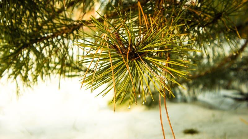在仔细的审视的杉树钉 库存图片