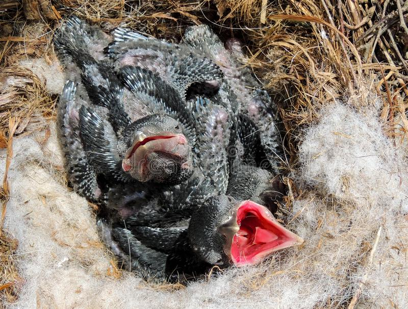在他们的巢的小乌鸦 免版税库存图片