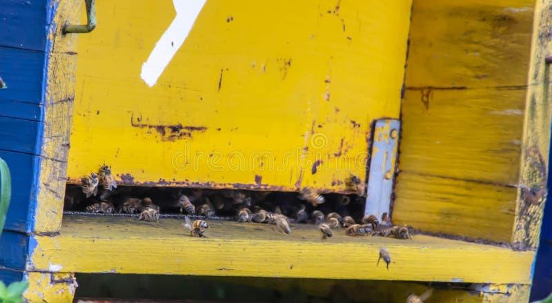 在他们的缸的蜂专心在他们的工作上 有冷却谁保卫的那些人 这些小昆虫对是非常重要 免版税图库摄影