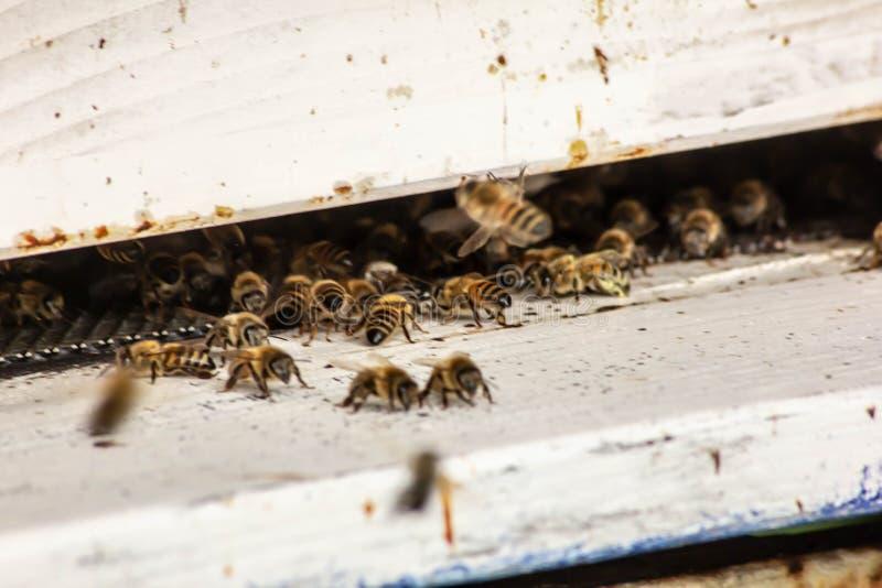 在他们的缸的蜂专心在他们的工作上 有冷却谁保卫的那些人 这些小昆虫对是非常重要 库存图片