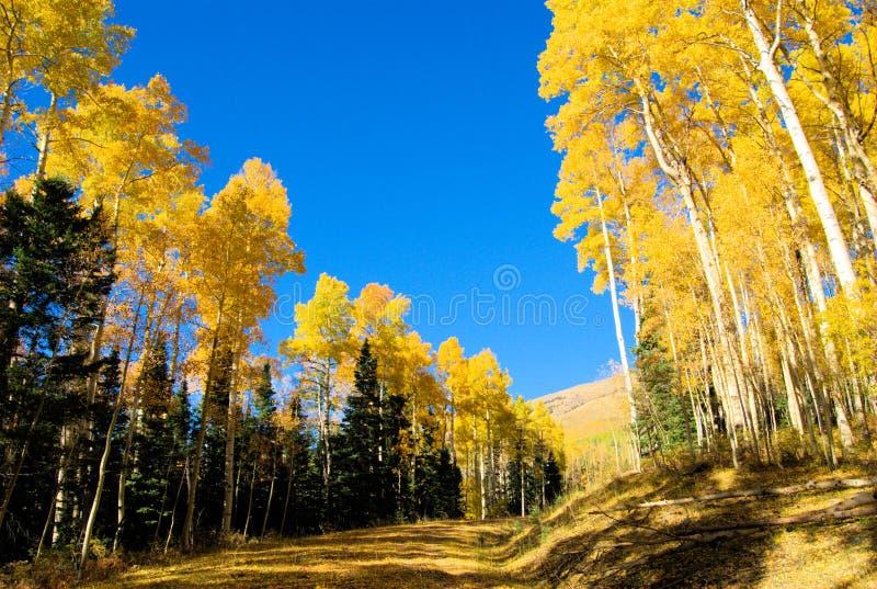 在他们的荣耀的白杨木 免版税库存照片