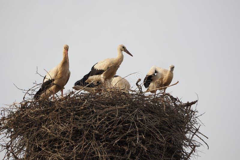 在他们的面对天际,Lerida的巢的四只黑白鹳 库存照片