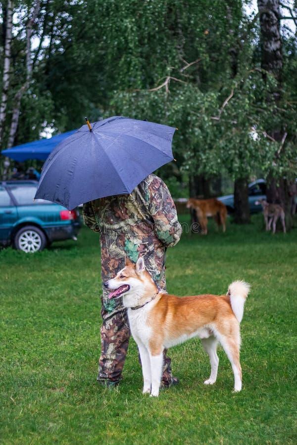 在他的大师附近的西西伯利亚Laika在步行的公园在Th 免版税库存照片