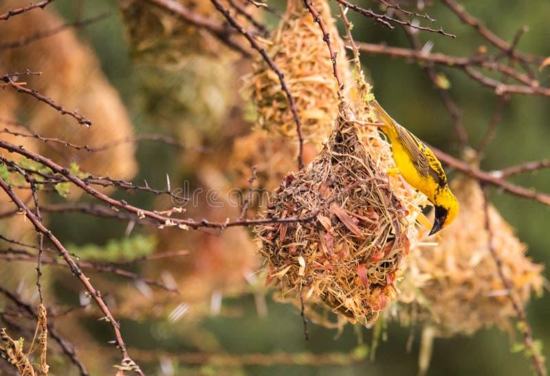 在他的巢的织布工鸟 免版税库存图片