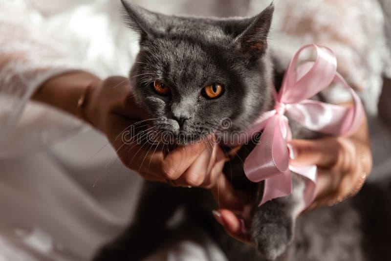 在他的手上的灰色英国猫 免版税图库摄影