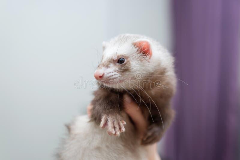 在他的手上的白鼬年轻开会 友谊动物和人 库存图片