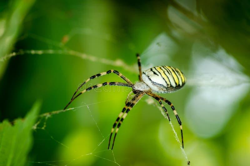 在他的等待他的选择聚焦的网的共同的黑和黄色肥胖玉米或花园蜘蛛Argiope aurantia牺牲者关闭 库存照片