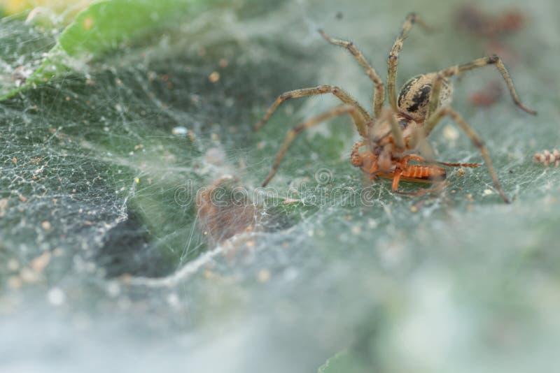 在他的陷井的蜘蛛 库存图片