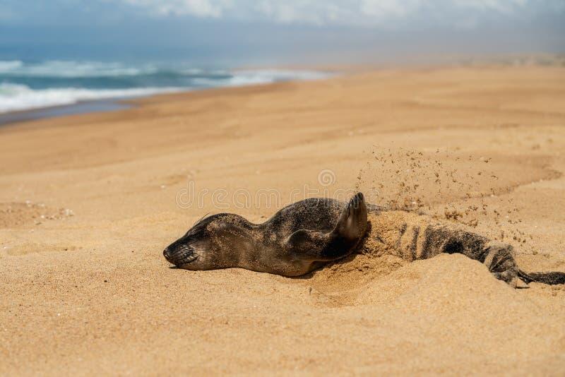 在他自己的新生儿封印投掷的沙子,空的沙滩,加利福尼亚 免版税图库摄影
