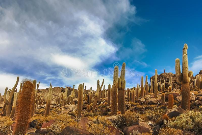 在仙人掌岛的巨型仙人掌在乌尤尼盐沼 库存照片