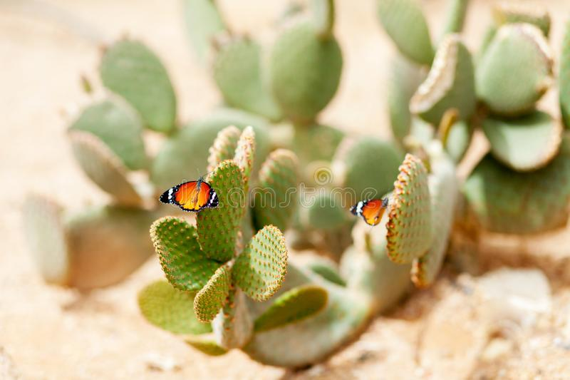 在仙人掌的蝴蝶 库存图片