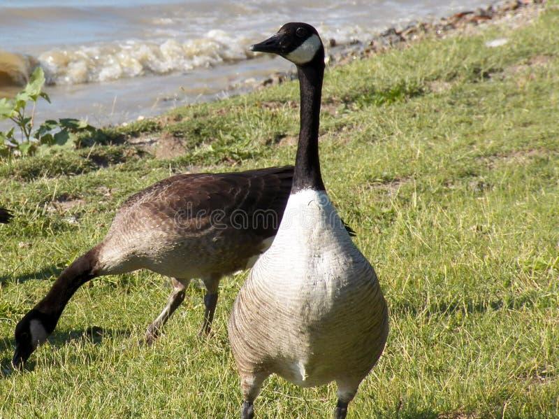 在伊利湖的鸭子 免版税库存图片