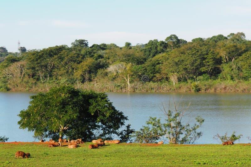 在伊泰普水电站Binational iguassu/巴西和巴拉圭的水豚 免版税库存照片