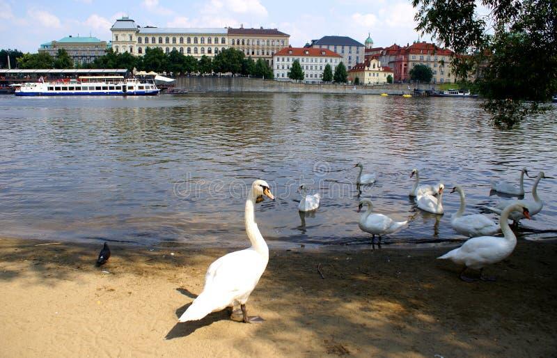 在伏尔塔瓦河河的天鹅在布拉格 免版税图库摄影