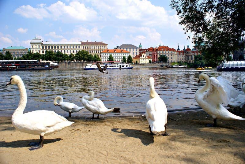 在伏尔塔瓦河河的天鹅在布拉格 库存照片