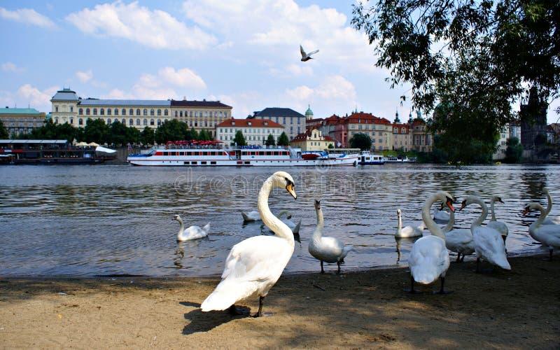 在伏尔塔瓦河河的天鹅在布拉格 免版税库存图片