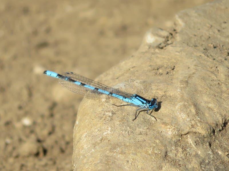 在休息为照片的强烈的颜色的美丽的蜻蜓 库存图片