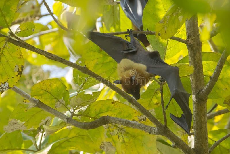 在休息处的巨型果实蝙蝠传播的翼 库存图片