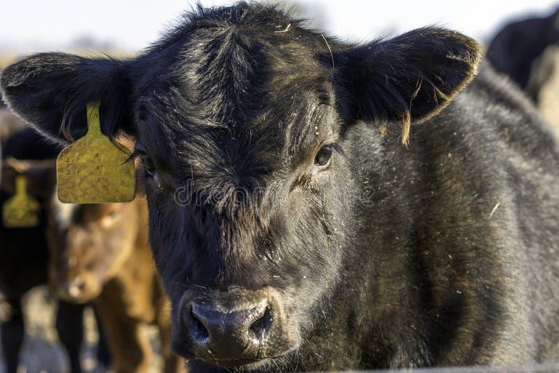 在休眠领域的黑安格斯小牛 库存照片