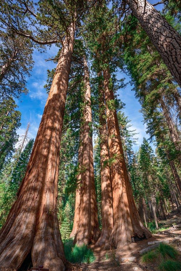 在优胜美地国家公园附近的巨型美国加州红杉在加利福尼亚 库存图片