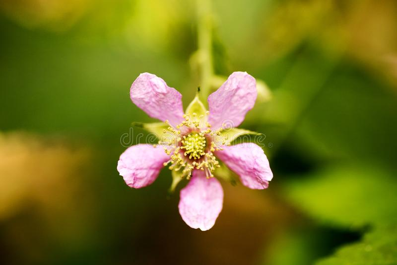 在优质印刷品产品的花悬钩子属植物occidentalis蔷薇科家庭宏观背景美术五十megapixels 免版税图库摄影