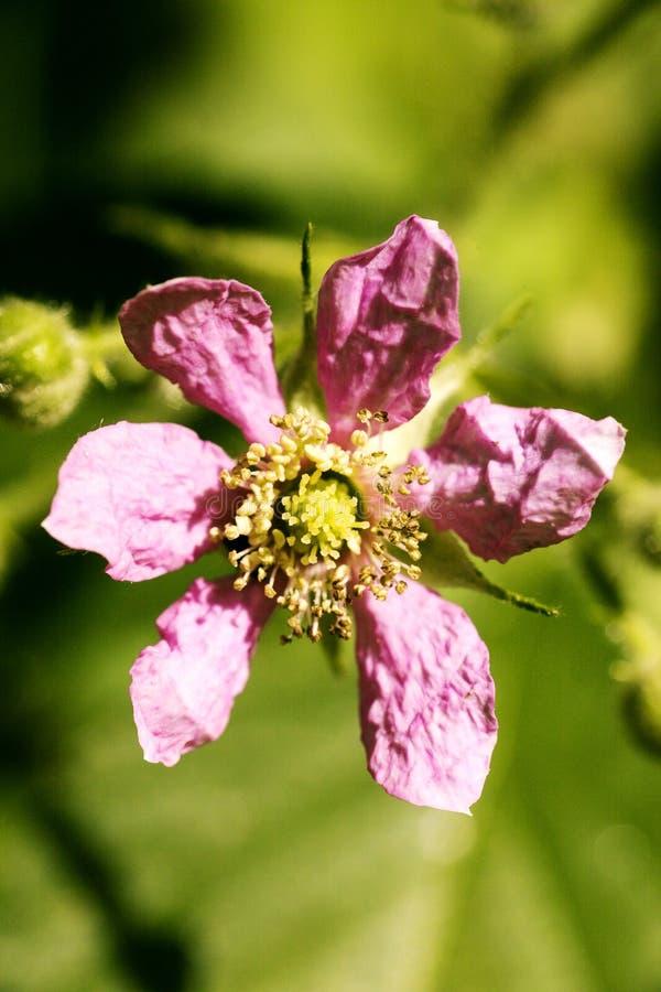 在优质印刷品产品的花悬钩子属植物occidentalis蔷薇科家庭宏观背景美术五十megapixels 免版税库存图片
