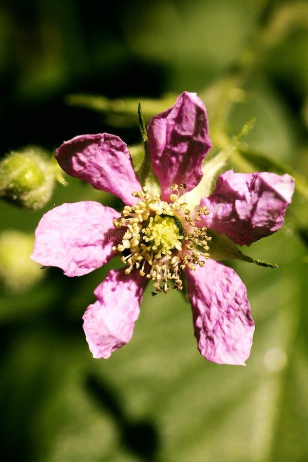 在优质印刷品产品的花悬钩子属植物occidentalis蔷薇科家庭宏观背景美术五十megapixels 库存照片