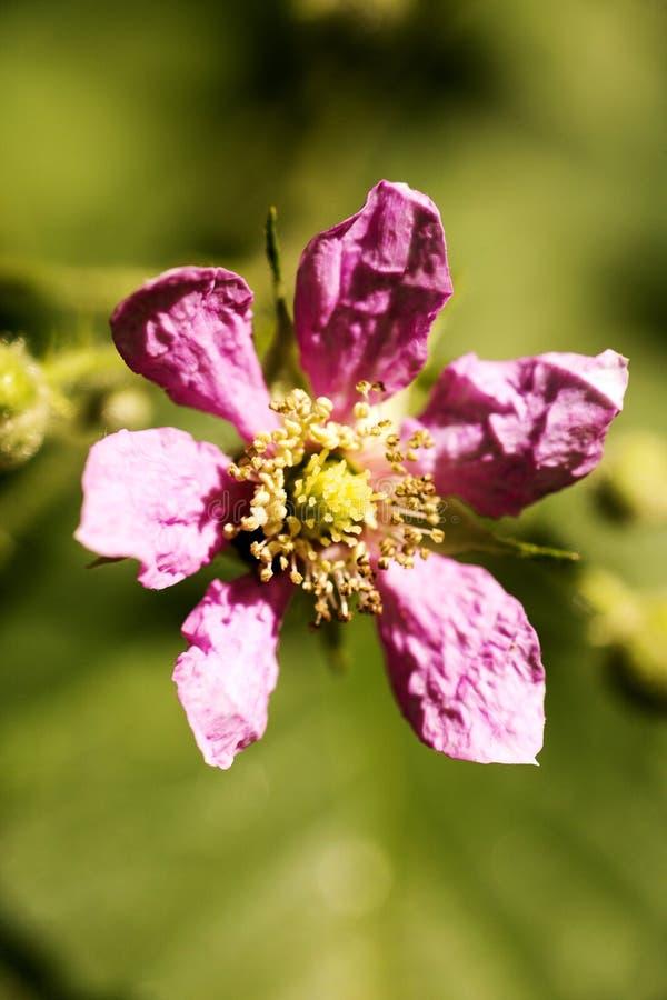 在优质印刷品产品的花悬钩子属植物occidentalis蔷薇科家庭宏观背景美术五十megapixels 库存图片