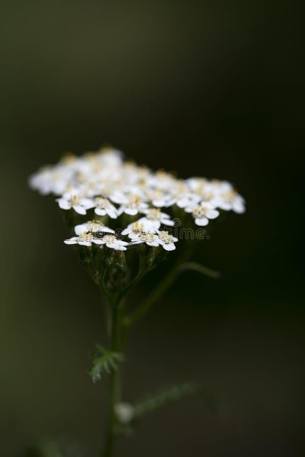 在优质印刷品产品的花Achillea millefolium家庭compasitae宏观背景美术五十megapixels 免版税库存图片