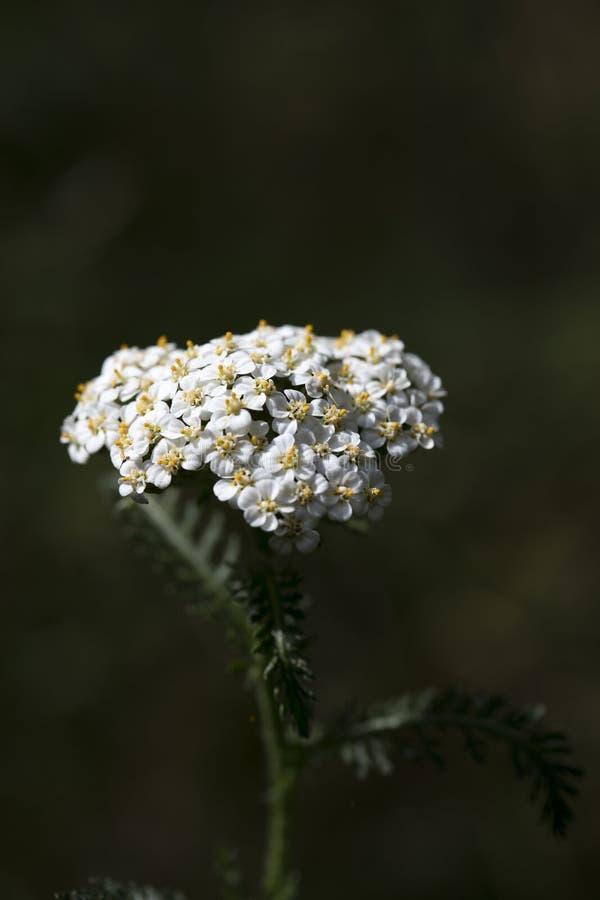 在优质印刷品产品的花Achillea millefolium家庭compasitae宏观背景美术五十megapixels 库存照片