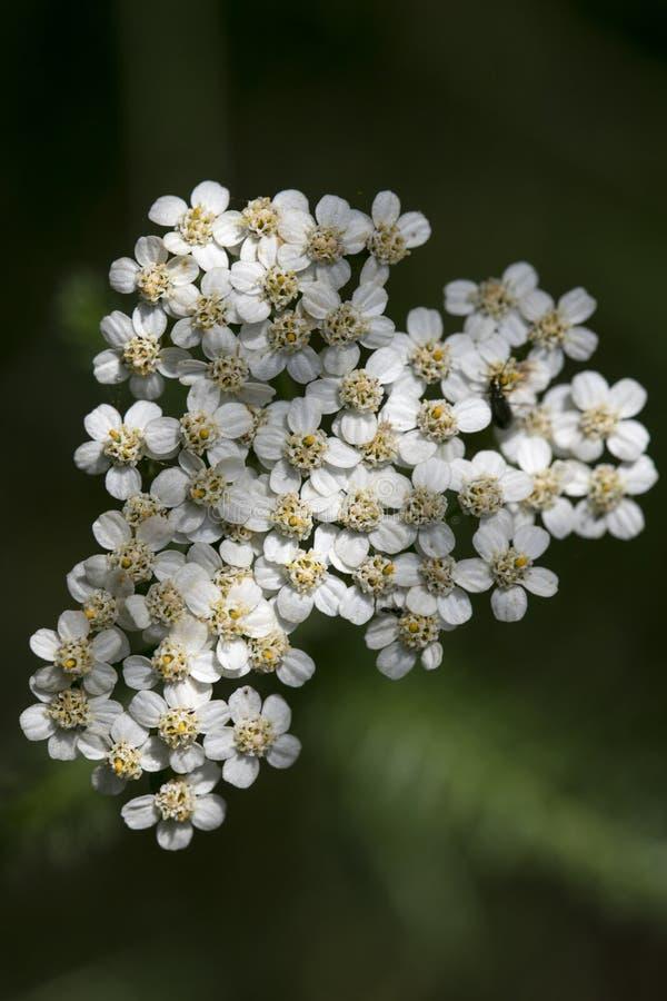 在优质印刷品产品的花Achillea millefolium家庭compasitae宏观背景美术五十megapixels 免版税库存照片