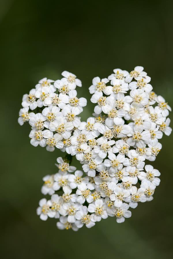 在优质印刷品产品的花Achillea millefolium家庭compasitae宏观背景美术五十megapixels 库存图片