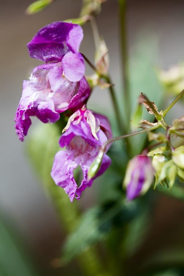 在优质印刷品产品的野花Impatiens glandulifera家庭凤仙花科宏观背景美术五十megapixels 免版税库存照片