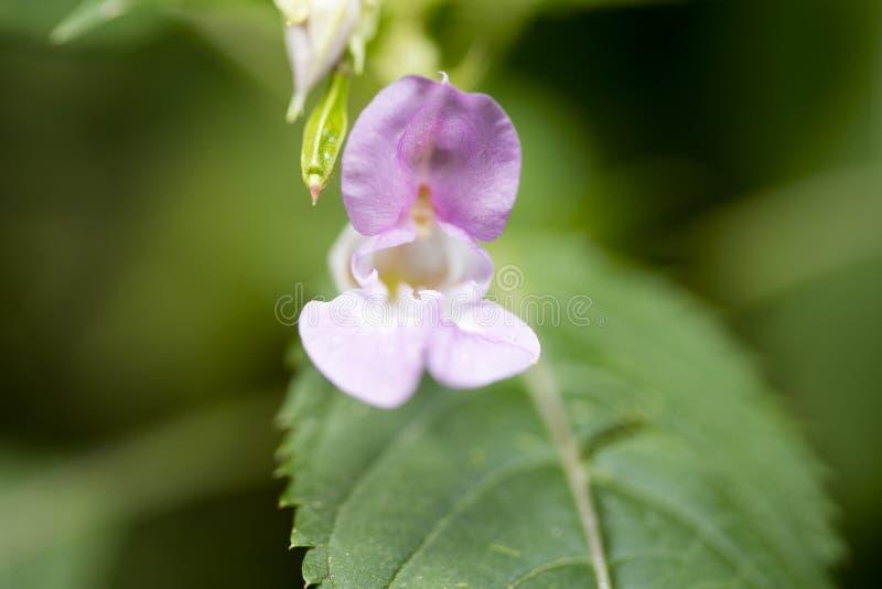 在优质印刷品产品的野花Impatiens glandulifera家庭凤仙花科宏观背景美术五十megapixels 库存图片