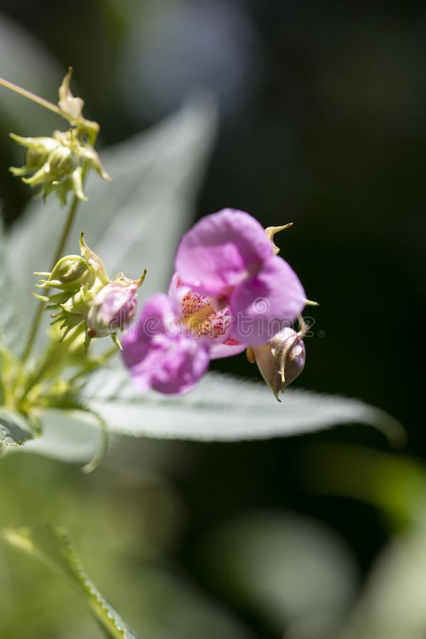 在优质印刷品产品的野花Impatiens glandulifera家庭凤仙花科宏观背景美术五十megapixels 库存照片