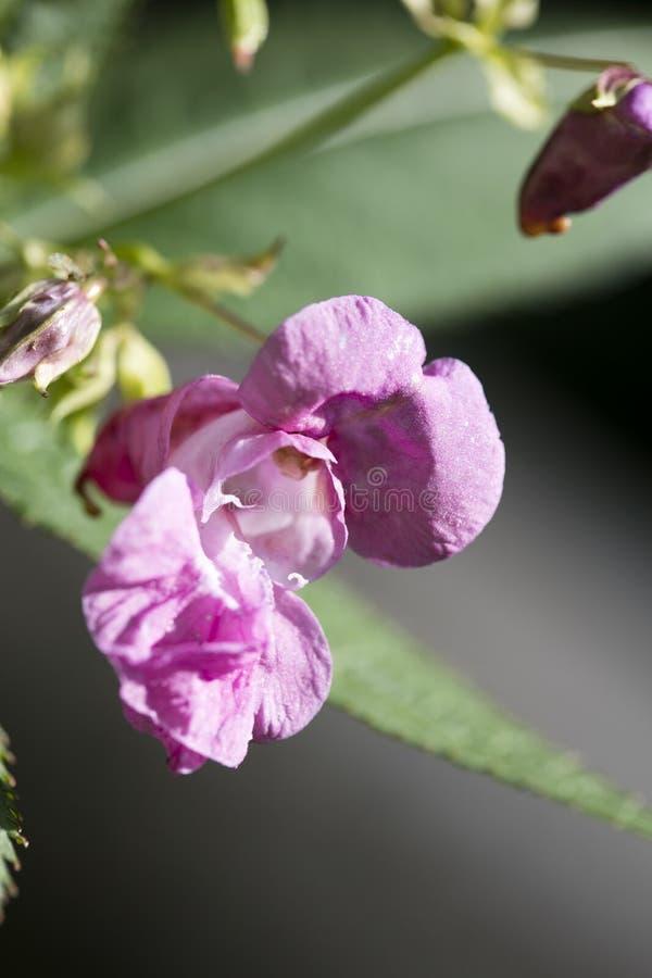 在优质印刷品产品的野花Impatiens glandulifera家庭凤仙花科宏观背景美术五十megapixels 免版税库存图片