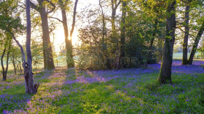 在会开蓝色钟形花的草木头的日出,Hambledon,汉普郡,英国 免版税库存图片