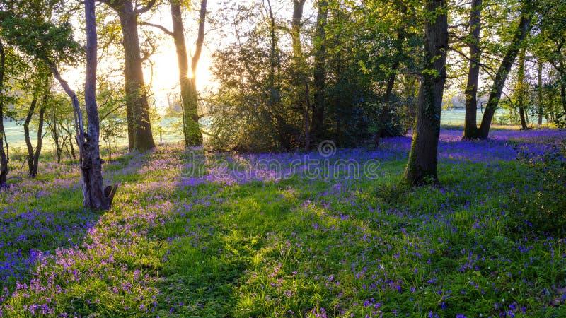在会开蓝色钟形花的草木头的日出,Hambledon,汉普郡,英国 库存图片