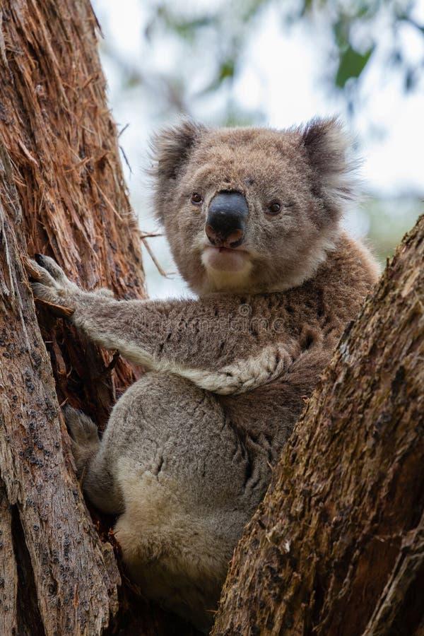 在伟大的Otway国家公园的野生考拉在澳大利亚 库存照片