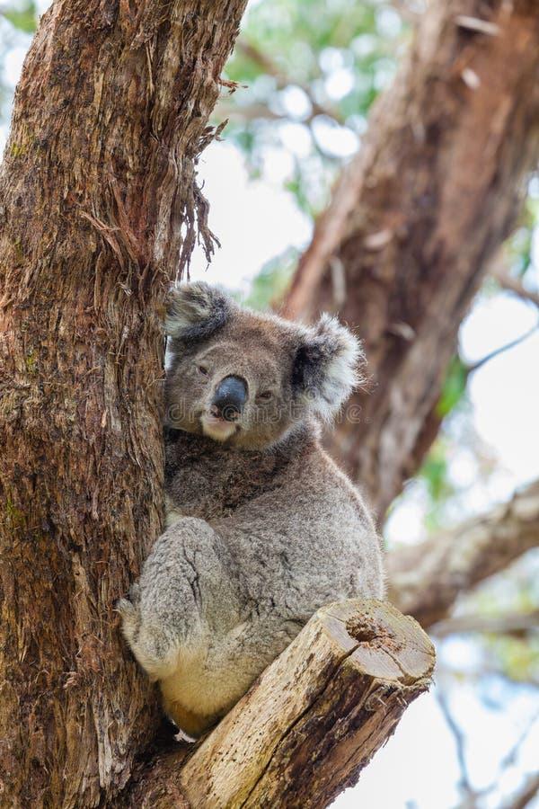 在伟大的Otway国家公园的野生考拉在澳大利亚 图库摄影