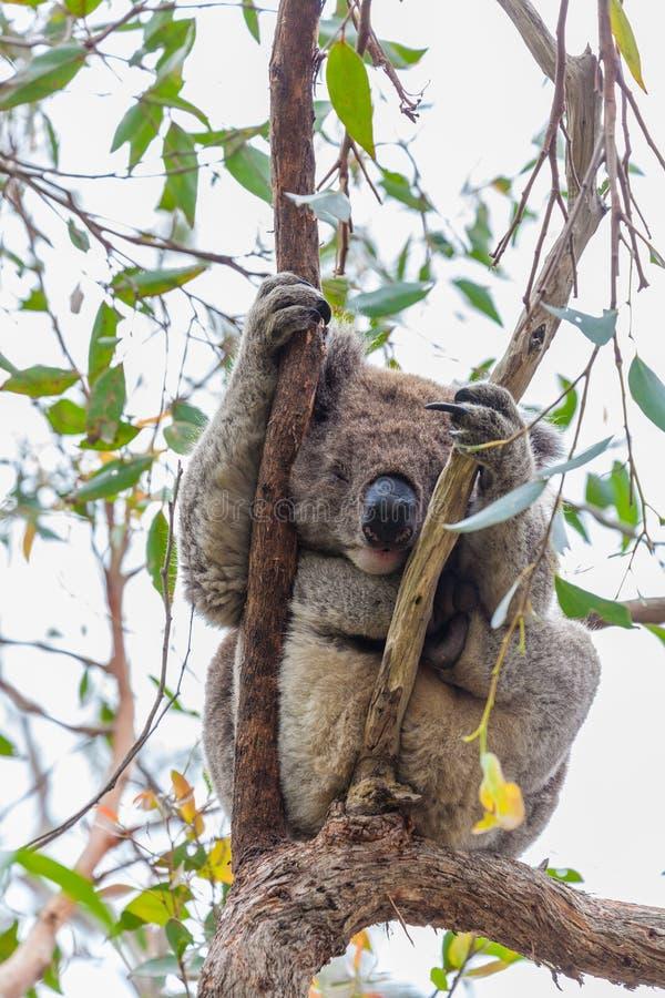 在伟大的Otway国家公园的野生考拉在澳大利亚 库存图片